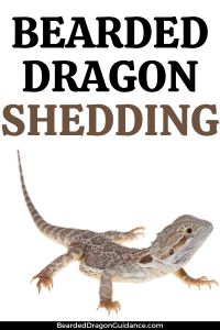 do bearded dragons shed