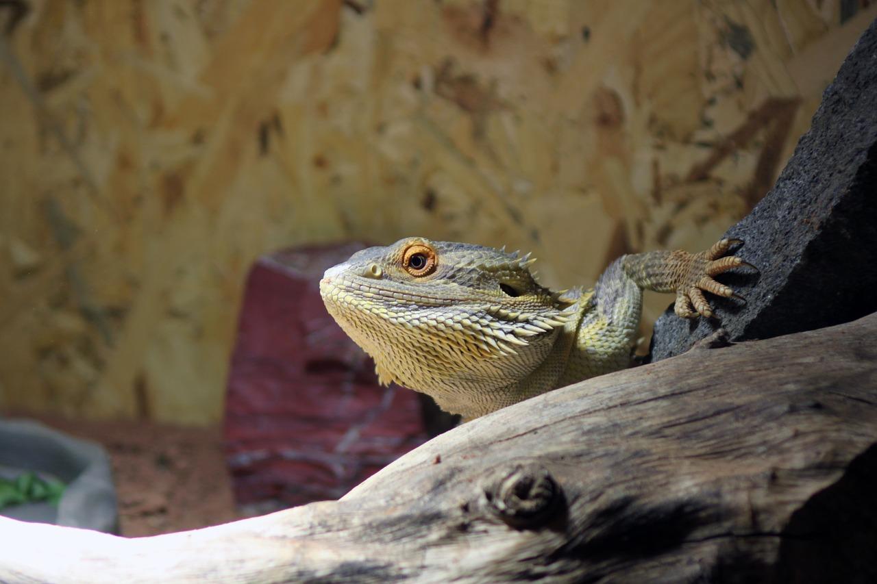 Bearded Dragon Habitat Design
