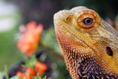 Signs Your Bearded Dragon Is Dying Or Sick