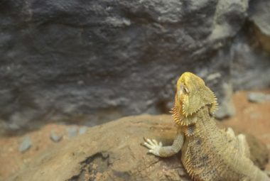 Picture Of Bearded Dragon In Desert