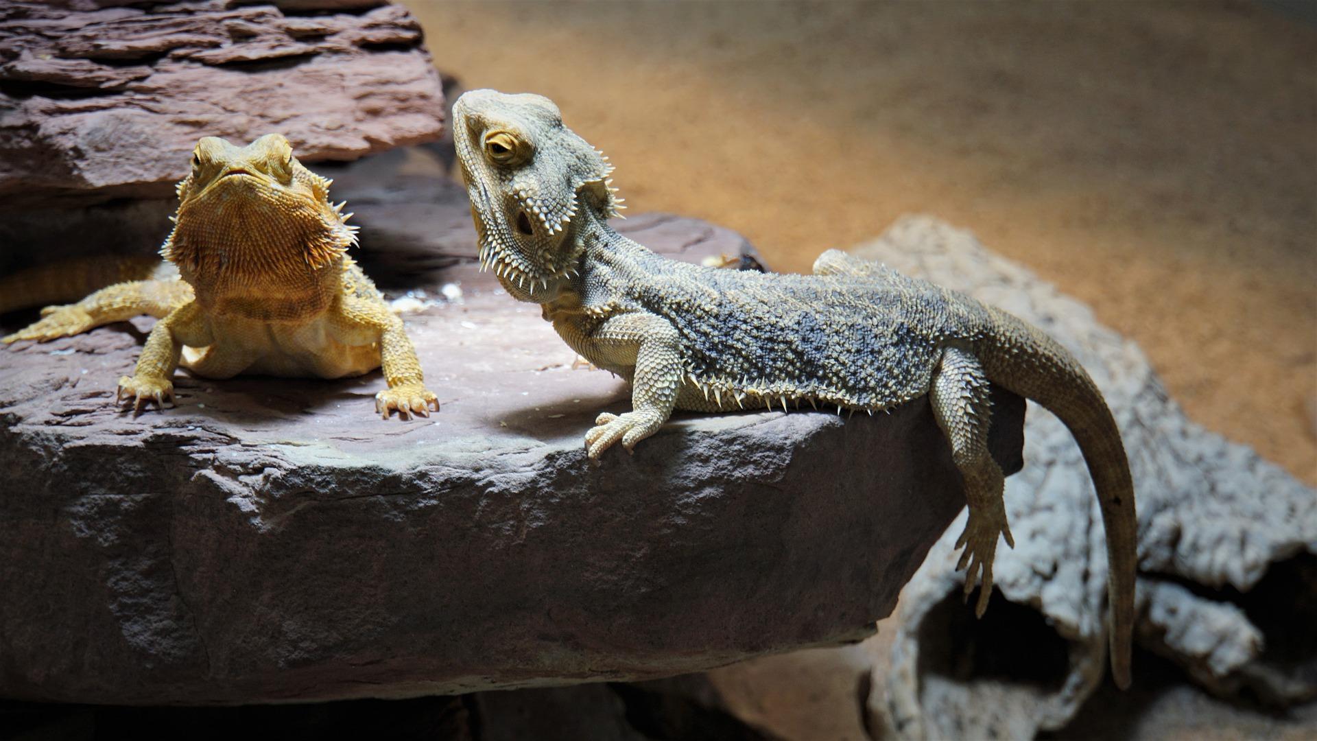 Lizard Head Bobbing