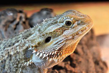 Behaviors Of A Bearded Dragon