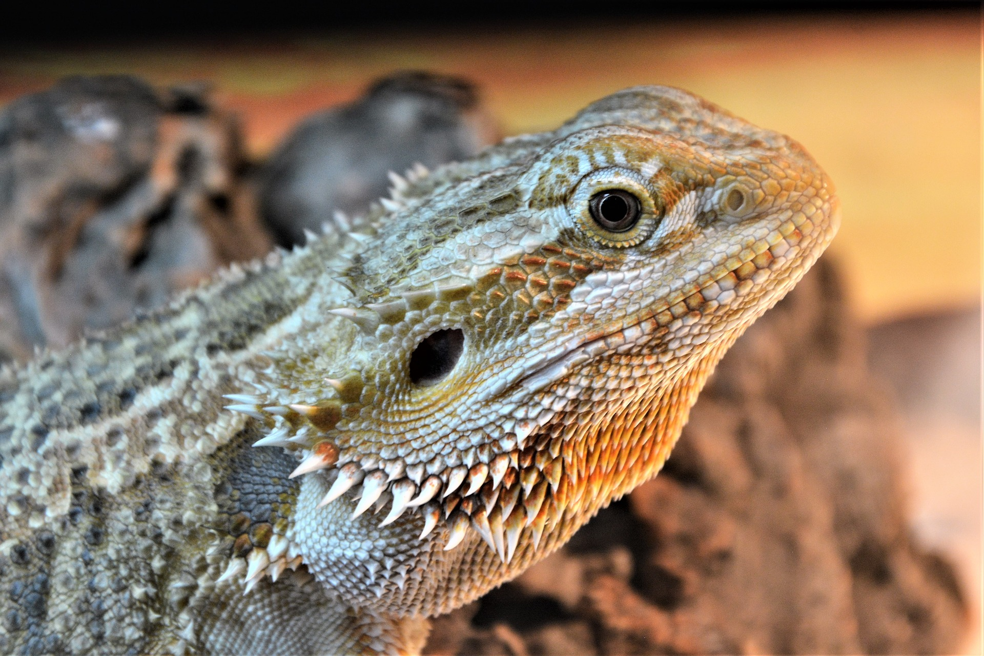 Behaviors Of A Bearded Dragon