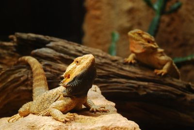 Black Beard On Bearded Dragon