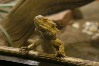 Glass Surfing Bearded Dragon