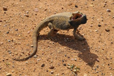 Why Bearded Dragons Hiss