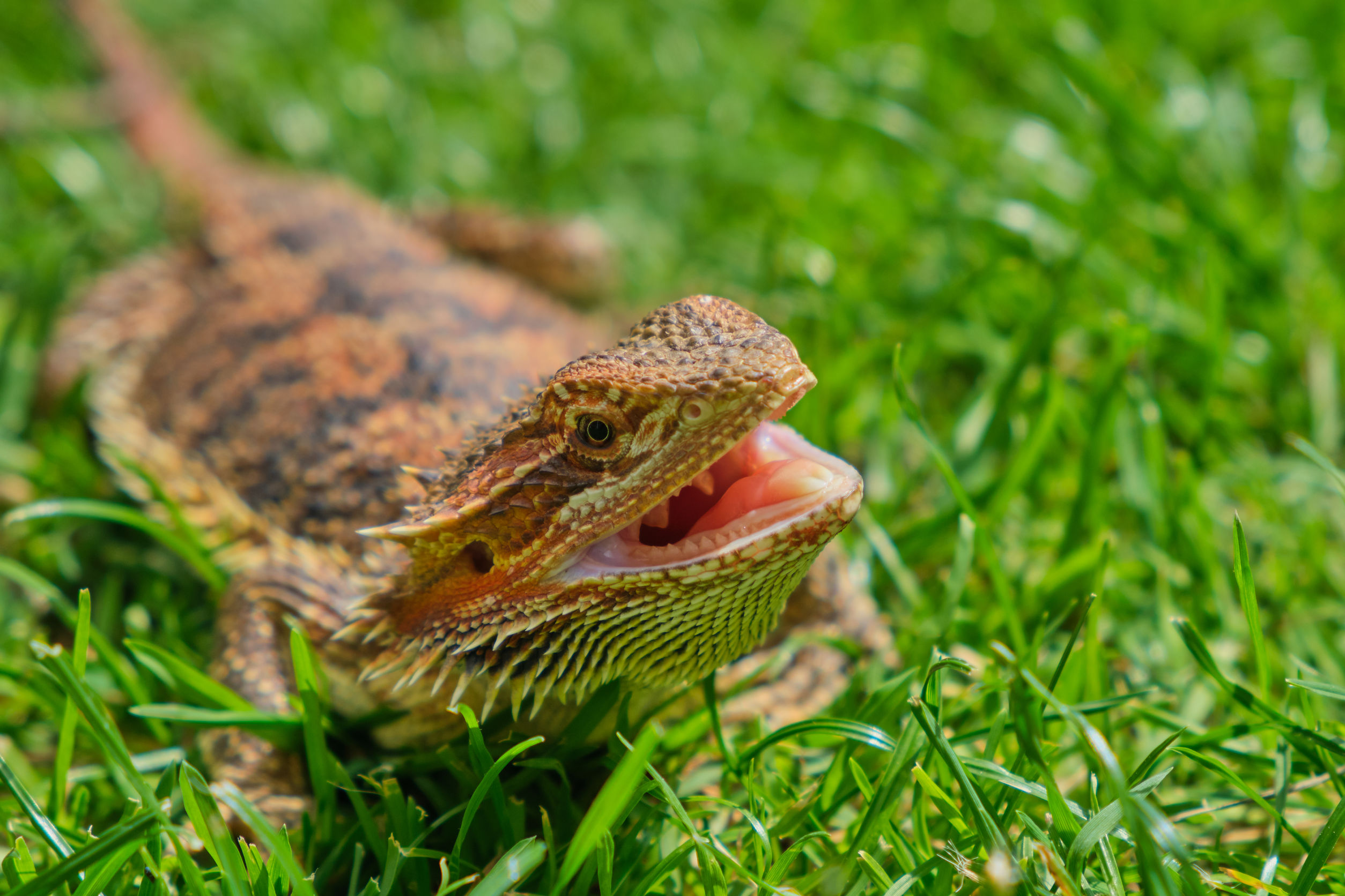 Bearded Dragon With Open Mouth