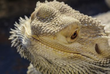 Bearded Dragon With Eye Shut