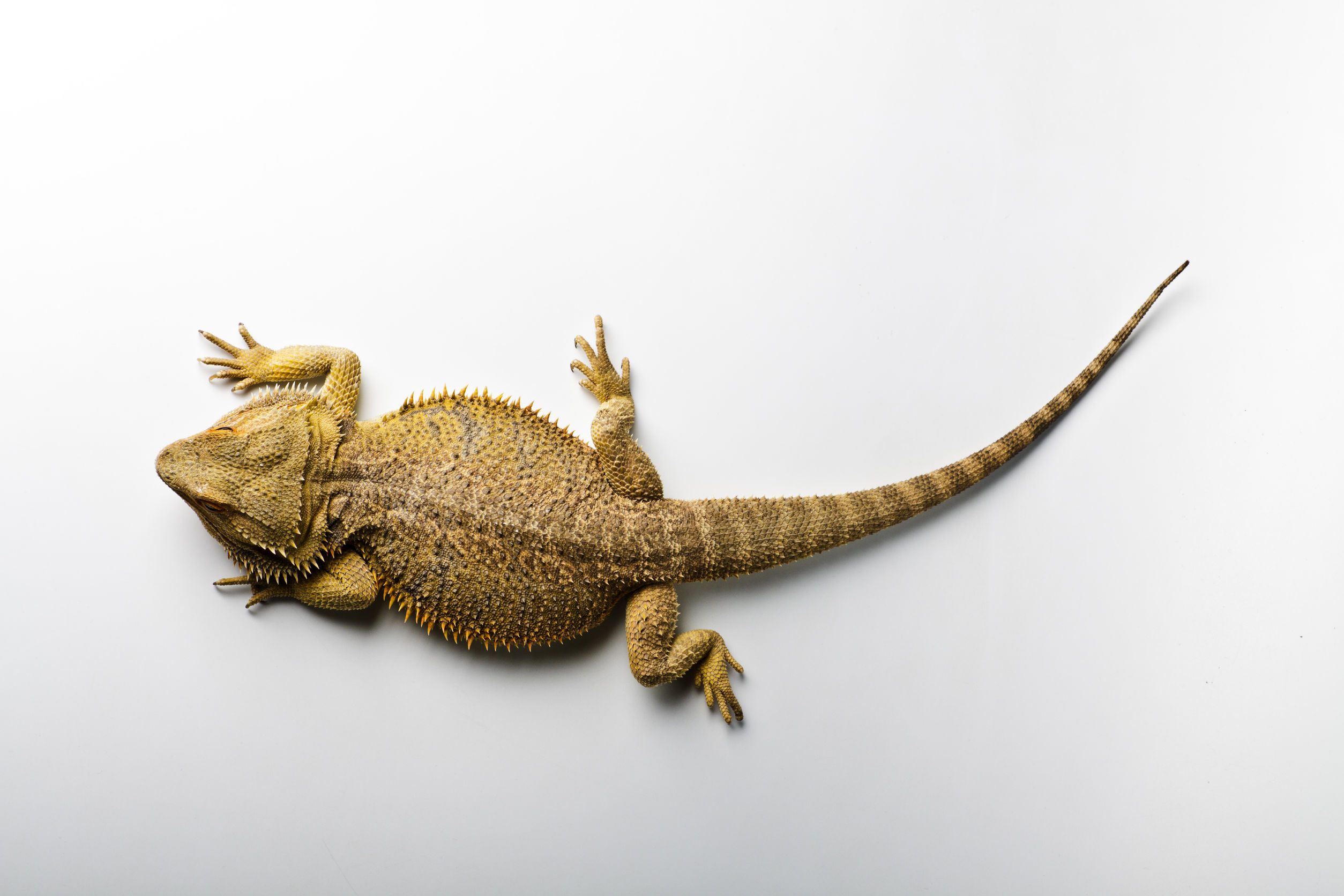 Bearded Dragon Puffed Up