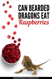 Raspberries For Bearded Dragons