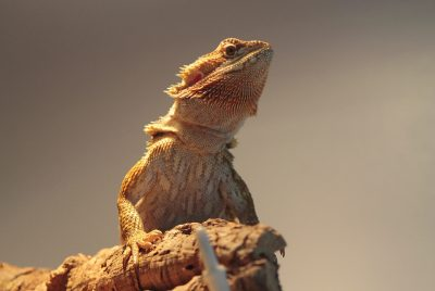 How Often Should A Bearded Dragon Poop