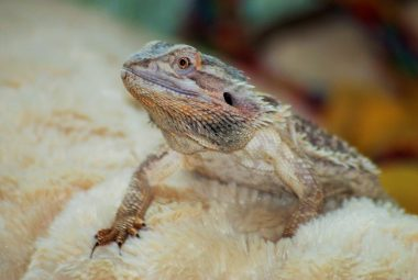 Bearded Dragon Cold