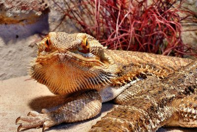 Why Do Bearded Dragons Shed
