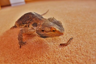 What Kind Of Worms Can Bearded Dragons Eat